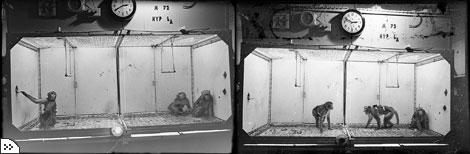 Самка макаки (крайняя слева на первой фотографии) быстро поняла, что с помощью рычага можно успокоить своего соседа по клетке - задиристого доминирующего самца. Рычаг посылал сигнал на стимосивер в его мозге, и гнев проходил. Крайний справа на левой фотографии - умиротворенный самец. На другой фотографии он снова стал агрессивен. В начале 60 х гг. Дельгадо провел множество подобных исследований, изучая влияние стимуляции мозга на социальные взаимоотношения.