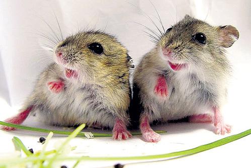 У подопытных хомячков и мышек учёные отмечают отставание в развитии и снижение репродуктивных функций