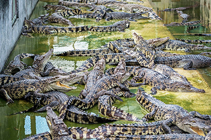 1447156817_krokodily.jpg