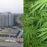 Конопля растет в москве сколько держится наркотик марихуана в моче