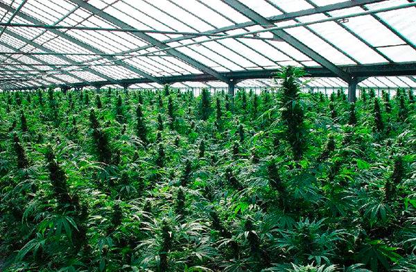 С марихуаны на героин выращивание марихуаны способы